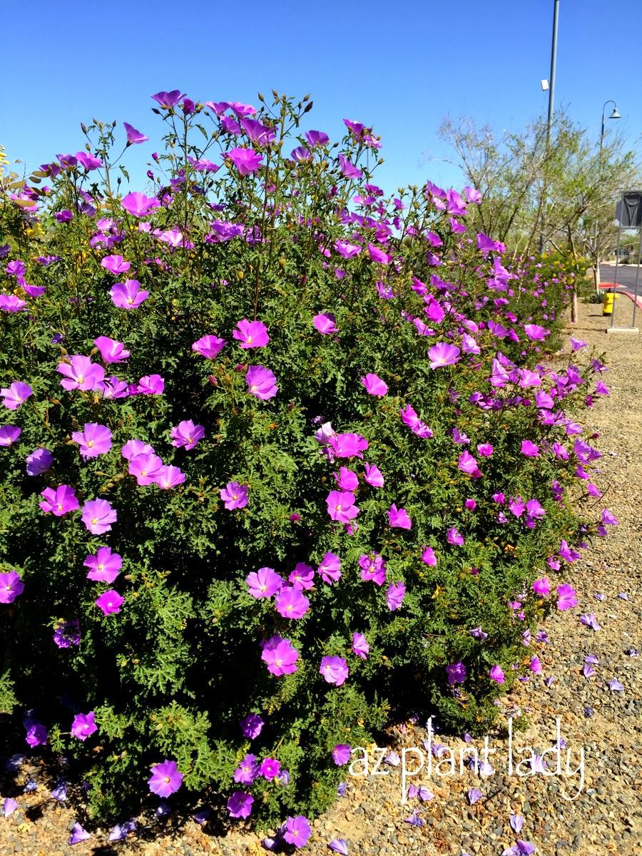 Blue Hibiscus shrub Alyogyne heugllii