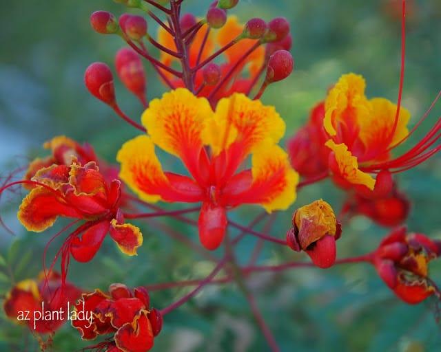 red bird-of paradise