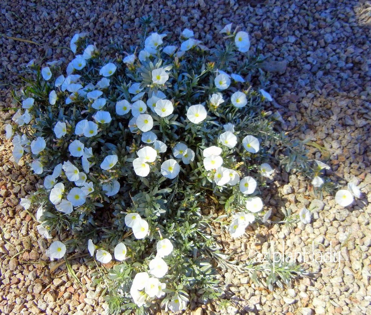 White Flowering Plants For The Southwest Landscape Part 1