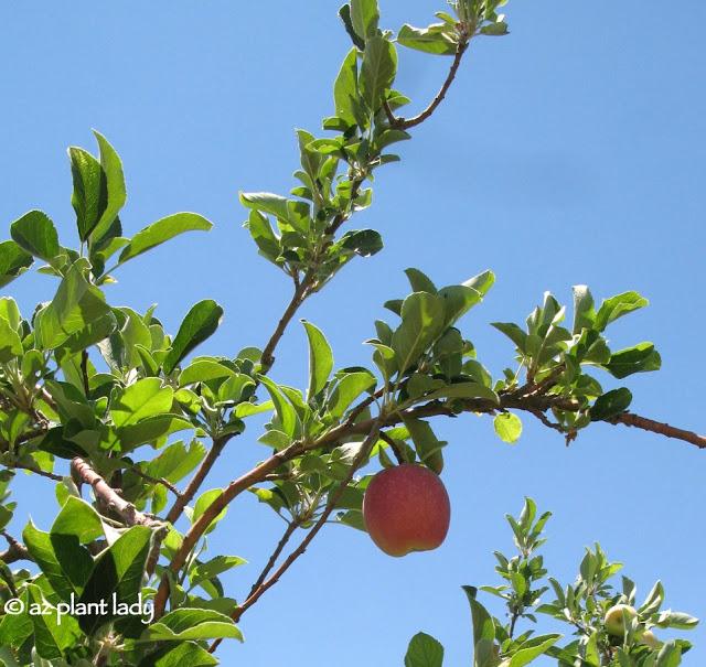 anna_apple_tree