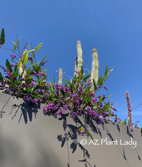 Purple Lilac Vine (Hardenbergia violaceae) winter garden